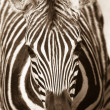 Постер, плакат: Wildlife Zebra Head Sepia Tone