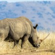 Постер, плакат: Rhino Grasslands Wildlife Animals