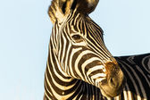 Zebra Animal Wildlife — Stock Photo