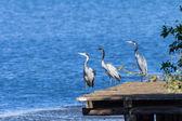 Bird Grey Heron Fishing Wetland Waters Wildlife — Foto de Stock