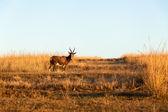 Buck cape blesbok gräsmarker vilda djur — Stockfoto