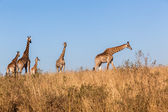 Giraffes Calf Wildlife Animals — Stock Photo