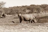 Wildlife Rhino Animals Sepia Tone Contrasts — Stock Photo