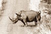 Nosorożec droga dzikość zwierząt — Zdjęcie stockowe