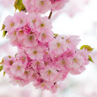 sakura cherry blossom — Stock Photo