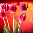 Tulips on red bokeh background — Stock Photo