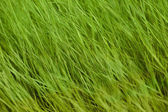 Green summer grass — Stock Photo