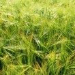 Summer Wheat Crops Field — Stock Photo