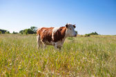 Cow on pasture summer — Stock Photo