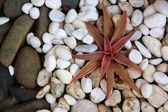 Cryptanthus on rock — Stock Photo