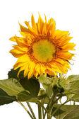 Sunflower and bee 1 — Stock Photo