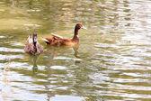 Two duck swim — Stock Photo