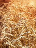 Field of wheat closeup.Agriculture background. — Stock Photo