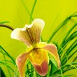 Stock Photo: Marsupial beautiful orchid