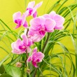 Beautiful magenta orchid — Stock Photo