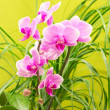 Beautiful magenta orchid — Stock Photo #38217917