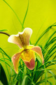 Marsupial beautiful orchid — Stock Photo