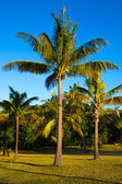 Goazon palms blue sky — Stock Photo