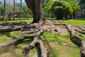 Strong root tree on a green lawn — Stok fotoğraf