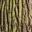 Texture deciduous tree — Stock Photo
