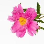 Fiore di peonia rosa — Foto Stock