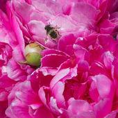 Wild bee on  peony — Photo