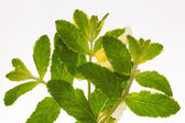 bright mottled green mint — Stock Photo