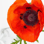 Red poppies with drops of water — Stock Photo