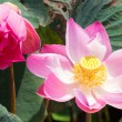 Pink lotus with yellow center — Stock Photo #49450457