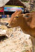 Kırmızı inek — Stok fotoğraf