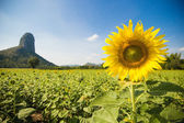 Sun flower plantation with blue sky in Lopburi province Thailand — Stock Photo