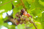 Grapes in winery yard in Thailand — Stock Photo