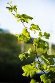 Grape leave in winery yards — Stock Photo