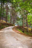 Road in the pine forest — Stock Photo