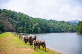 Group of buffalo nearby the huge lake — Stock Photo