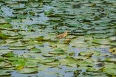 Lotus leaves and bird on the pond — Stock Photo
