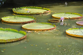 Giant Water Lily in the canal at the Rama 9 Royal garden — Stock Photo