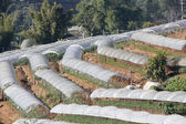 Chrysanthemum flowers farm on Inthanon mountain — Stock Photo