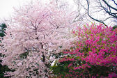 Beautiful white cherry blossom (sakura) shot in japan — Stock Photo
