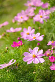Cosmos flowers for background — Stock Photo