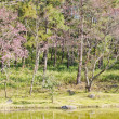 Forest and lake during Thai sakura blooming in Inthanon national park — Stock Photo #38749143