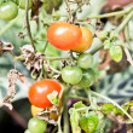 Rare organic tomato on tree — Stock Photo