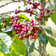 Branch of ripe coffee beans on tree — Stok fotoğraf