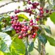 Branch of ripe coffee beans on tree — Stockfoto