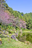 Forest and lake during Thai sakura blooming in Inthanon national park — Foto Stock