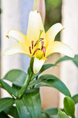 White lily blooming on tree — Stock Photo