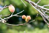 Brzoskwinia na drzewo w gospodarstwie w tajlandii chaingmai — Zdjęcie stockowe