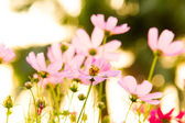Cosmos flower filed for background — Stock Photo