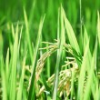 Stock Photo: Paddy rice close up