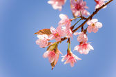 Sweet Cherry blossom (Sakura blooming) in Thailand — Stock Photo